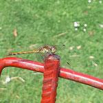 Libelle aufgenommen in Nieder-Olm von Wiebke F.