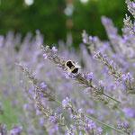 Erdhummel auf Lavendel aufgenommen in Albig von Natalie H.