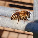 Honigbiene aufgenommen von Kindern der Kita Nieder-Olm