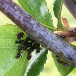 Ameisen aufgenommen in Gumbsheim von Ben F.