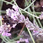 Erdhummel auf Lavendel aufgenommen in Dorn-Dürkheim von Michael L.