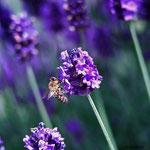 Honigbiene auf Lavendel aufgenommen in Sprendlingen von Darina J.