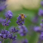 Honigbiene auf Lavendel aufgenommen in Guntersblum von Josua K.
