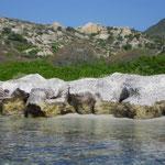 Quand la posédonie arrachée par les vents forts trouve refuge sur les rochers du littoral
