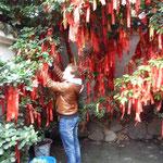 Kaspar hängt Glücksschnüre in den Baum.