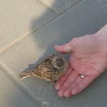 Ein blinder oder flügellahmer Vogel beim buddhistischen Tempel, der aber ganz zutraulich war