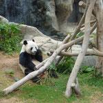 Pandas im Ocean Park!