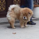 So einen Löwenhund will ich auch!!