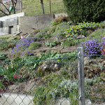 Bereits Mitte März 2014 blüht der Steingarten eines Hauses in Bad Mühlacken