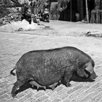 A big black pregnant pig roams the streets of Yuan yang