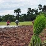 rijstvelden klaarmaken voor nieuwe oogst