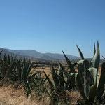 Naxos: binnenland met zijn vele cactusssen