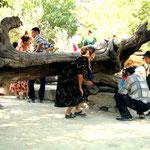 Moerbeistronk in Naqshbandi. Stop geld in de spleten en loop er driemaal onderdoor en je kinderwens gaat in vervulling