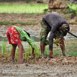 noeste arbeid op de rijstvelden