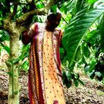 Kaffee Pflückerin in der Plantage
