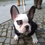 Woody Französische Bulldogge Welpe