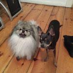 Teddy Zwergspitz + Jaqui Russ. Toy Terrier
