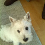 Mayla West Highland Terrier Welpe