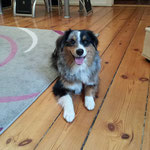 Billy Mini Australian Shepherd