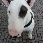 Tito Mini Bullterrier
