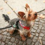 Bob Yorkshire Terrier