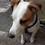 Otto Parson Jack Russell Terrier