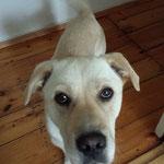 Otti Labradormix aus Tierschutz