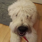 Wellington Soft Coated Wheaten Terrier