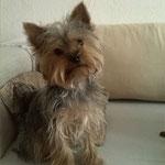 Cheri Yorkshire Terrier