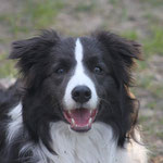 Sadie Border Collie
