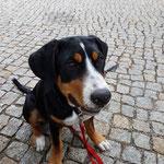 Heide Schweizer Sennenhund