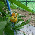 有機栽培のトマトも見せてもらいました!