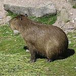 Wasserschwein