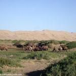 Les chameaux du matin