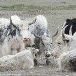 Nos derniers yacks mongols