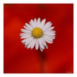 17 Gänseblümchen im Mohnmantel
