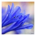 32 Allium