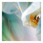 44 Orchidee