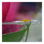 19 Margerite im Glas
