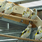 Jungvögel in der Mauser
