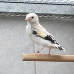 0,1 Eumo Weißkopf