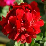 Atlantic Dark Red