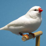Zebrafink weiß - Europasieger 2012