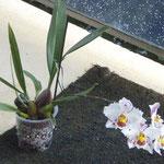Odontoglossum cripum