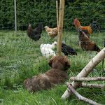 Hühner hüten
