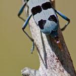 Rosalia alpina - femmina in ovideposizione