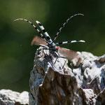 Rosalia alpina - femmina