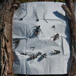 Rosalia alpina - resti di predazione