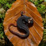 Salamandrina in postura di difesa su foglia di faggio