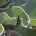 Rosalia alpina - maschio ferito